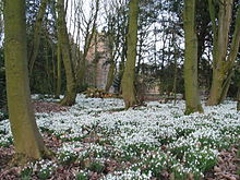 220px-Bank_Hall_Snowdrops_Feb_2009