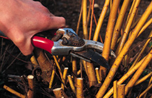 Pruning shrubs grown for their winter stem colour such as Dogwoods
