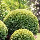 Box- small leaves make it ideal for strong  topiary shapes