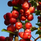 Crab apple 'Red Sentinel'- plum-sized fruits that birds seem to avoid