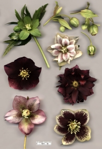 PLANTAX 1: A poisoned past- the story of Helleborus