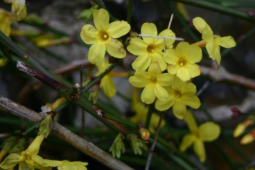 Looking good- Winter Jasmine (Jasminum nudiflorum)