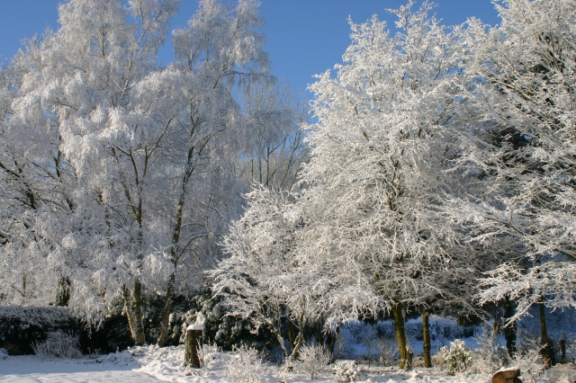 Silver Birch among others in the snow at Old School Garden, January 2013