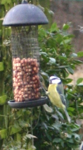 A blue tit on one of our bird feeders-  we seem to have a good number of these