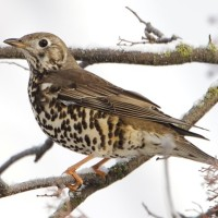 Mistle Thrush missing...Big Garden Watch this weekend