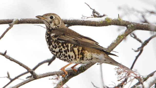 The Mistle Thrush- photo RSPB