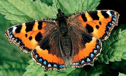 The Small Tortoiseshell- under threat