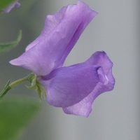 PLANTAX 3:  Sweet Peas - cottage garden favourite