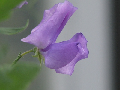 sweet-pea-flower