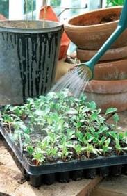 watering-vegetable-seedlings