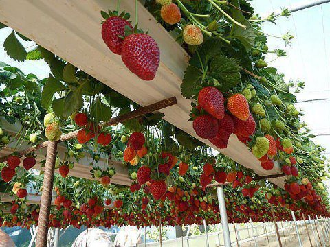 PicPost: Fruitful pergola...
