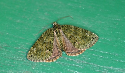 All green form of the Red - Green Carpet Moth'