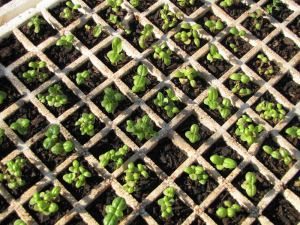 Seeds can be sown in trays or open ground - or in these modules for easier transplanting