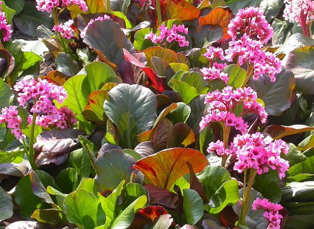 Bergenia 'Simply Sweet' in mass planting