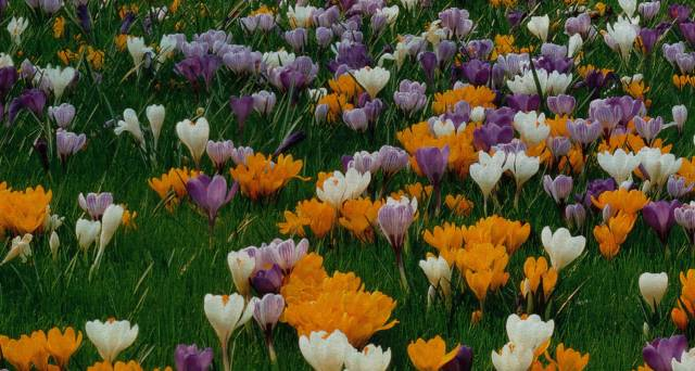 crocus carpet