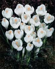 Crocus 'Jeanne d'Arc'