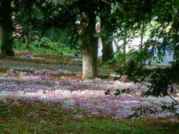 Cyclamen in a woodland setting