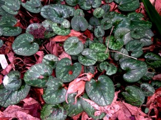 Cyclamen cilicicum leaves