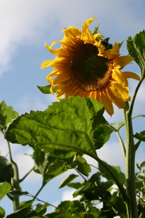 Sunflowers were planted by a local playgroup at the May opening of the garden - with the wet summer they grew to over 2.5 metres tall!