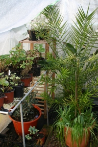 Over-wintering plants in the Old School Garden greenhouse