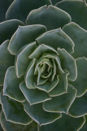 Echeveria- overwintering in Old School Garden Greenhouse