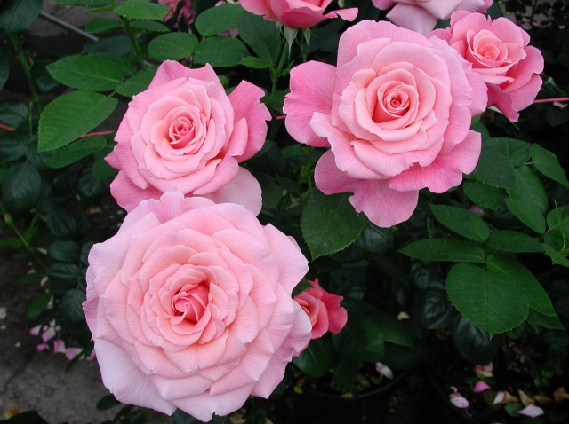 A rose bush for Valentine's Day? She'll be 'Tickled Pink'!