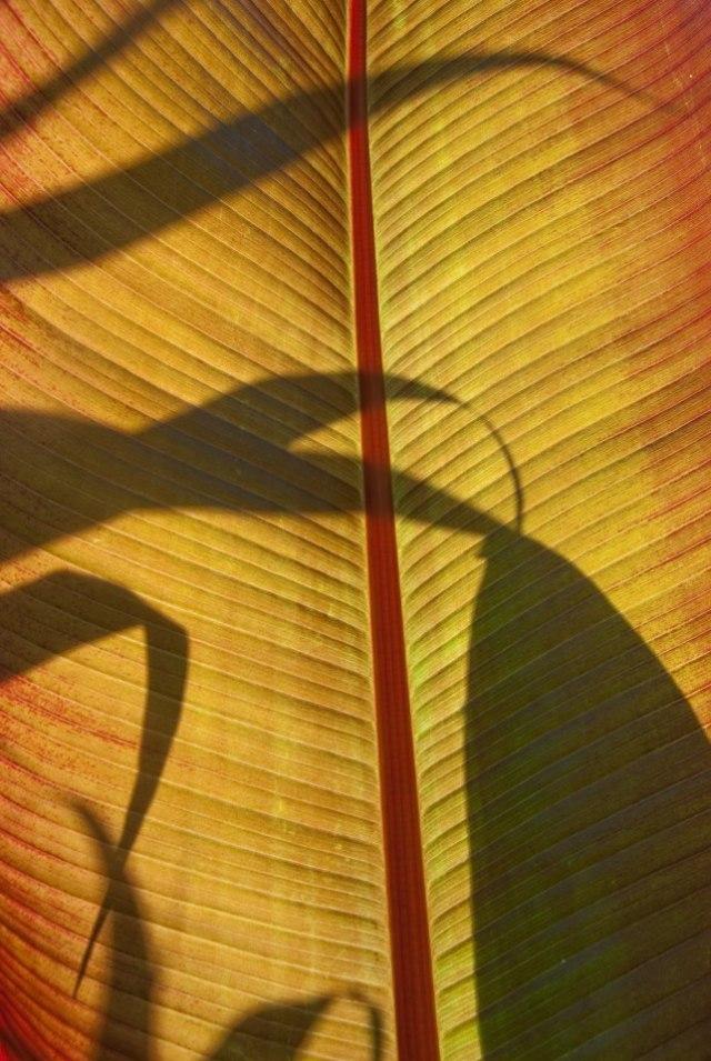 Picpost: Ensete ventricosum 'Maurelii'