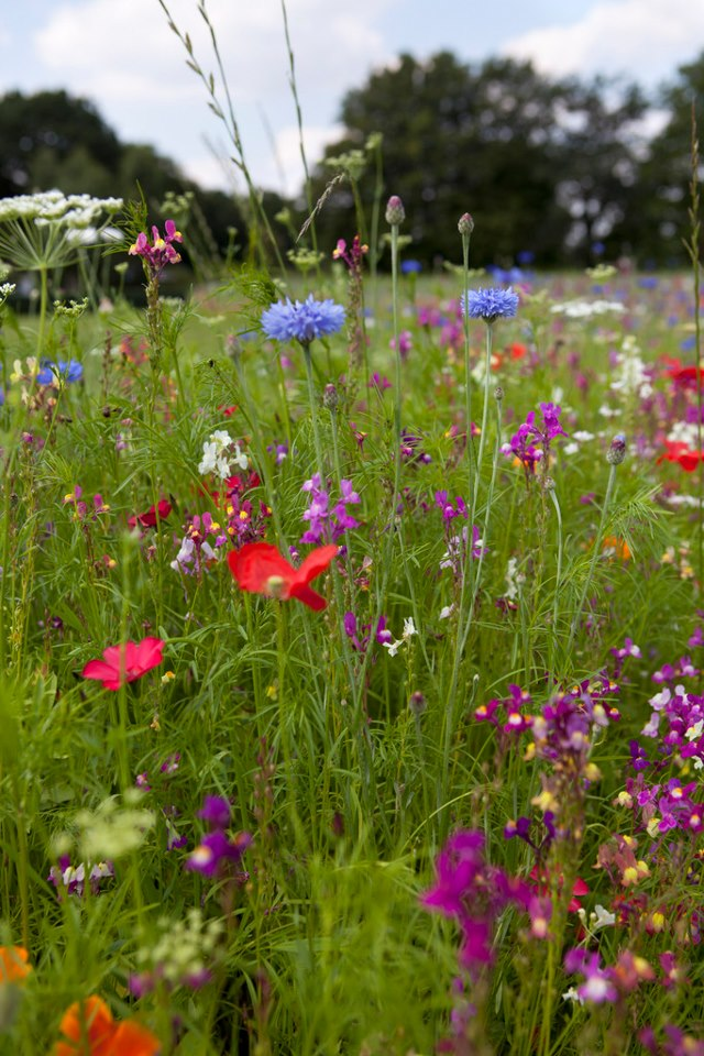 Wild flower meadows can be a more sustainable option than frequently mown lawns.
