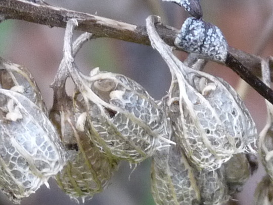 Campanula lactiflora - seed heads