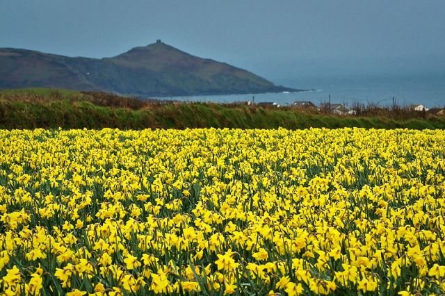 Cornwall daffodils- traditionally the place (along with the Scilly Isles and Channel Islands) where early supplies of cut flowers are sent out to the rest of Britain.