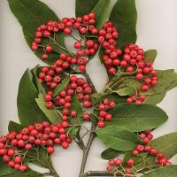 Plantax 8: Cotoneaster - Jewels of the Himalayas