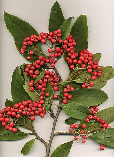 Cotoneaster frigidus leaves and fruit