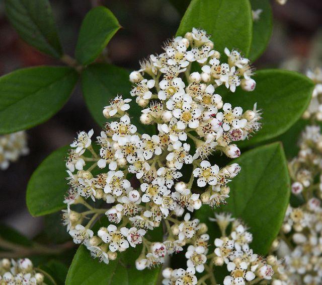 Cotoneaster lacteus - flowers