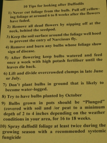 Daffodil growing tips