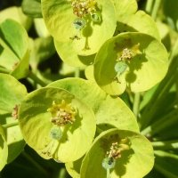 A-Z of Perennials: E is for Euphorbia