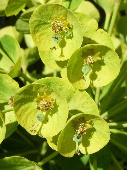 Euphorbia characias sub species 'Wulfenii'