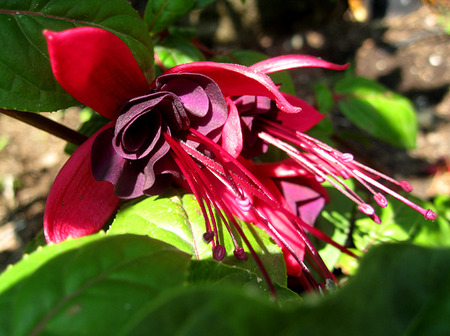 Fuchsia 'Black Beauty'