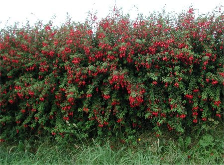 Fuchsia magellanica hedge
