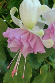 Fuchsia 'Wendy's Beauty'
