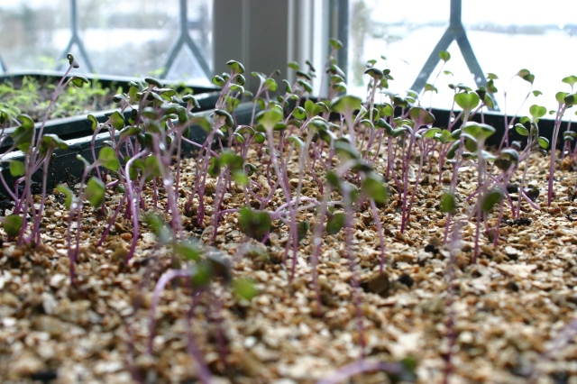 Red Cabbage seedlings on one of my 'seedy cills'