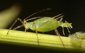 You can  sign up for early warnings of the spread of aphids