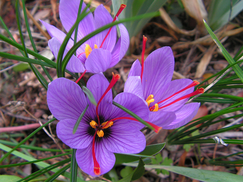 The Saffron Crocus (Crocus sativus)