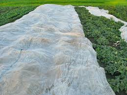 Horticultural fleece can be a quick way to protect young plants from overnignt frost