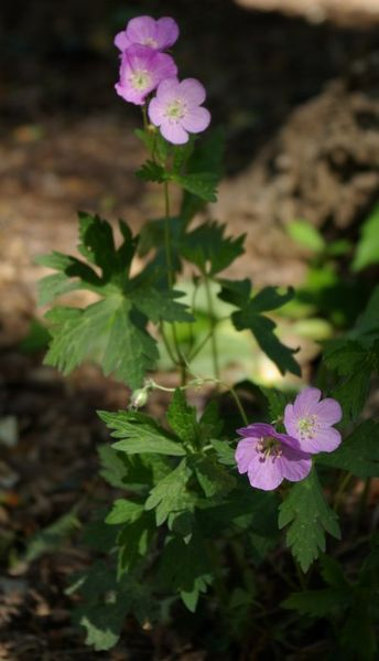 Geranium maculatum