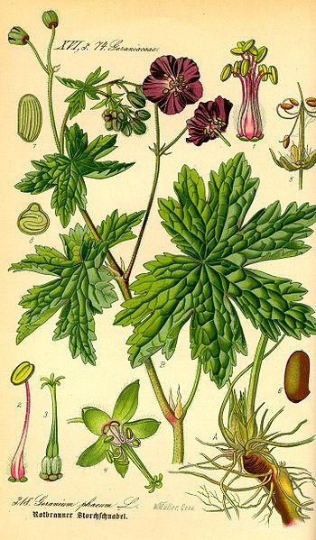 Geranium phaeum - from Thomé Flora von Deutschland, Österreich und der Schweiz 1885