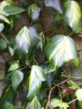 Ivy (Hedera colchica 'Sulphur Heart')