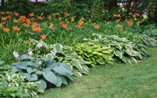 Hostas and Lillies