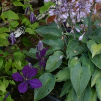 Old School courtyard Garden- Hosta and Clematis