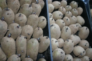 Early potatoes 'chitted' and ready to plant