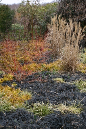 Dried stems of Miscanthus grass and the reds tesm of Cornus alba sit above the ground - coverinng black 'Mongo grass''